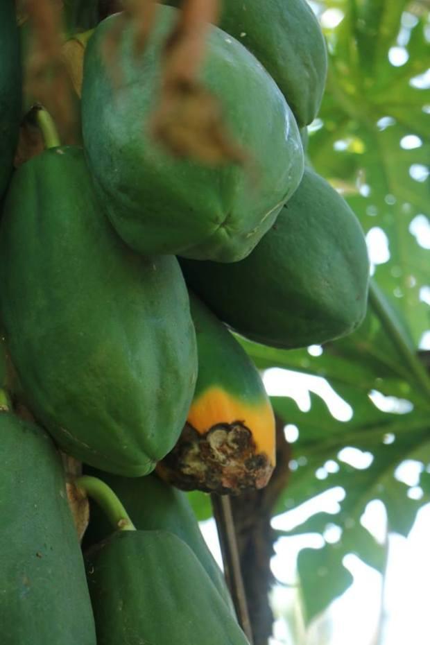 Papaya_India