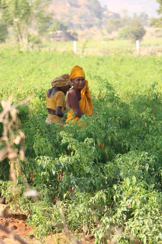 raccolta peperoncino_India